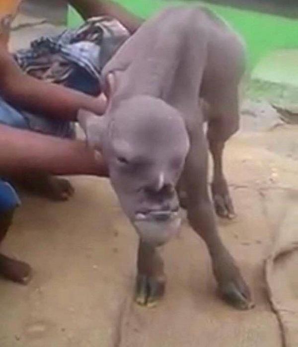 capra con un volto umano