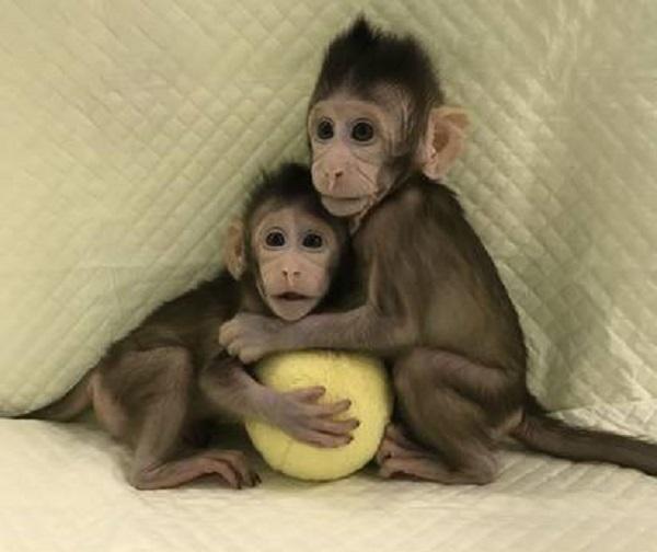 Zhong Zhong, una delle due scimmie clonate con la stessa tecnica con cui è stata ottenuta la pecora Dolly (Qiang Sun and Mu-ming Poo / Chinese Academy of Sciences)