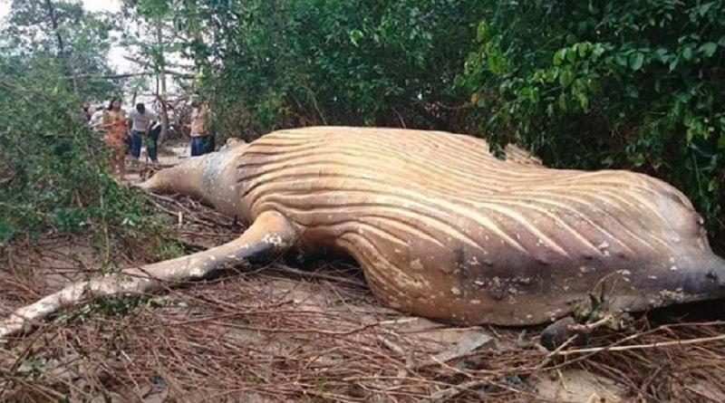 Il mistero della megattera lunga 36 piedi trovata morta nella foresta Amazzonica